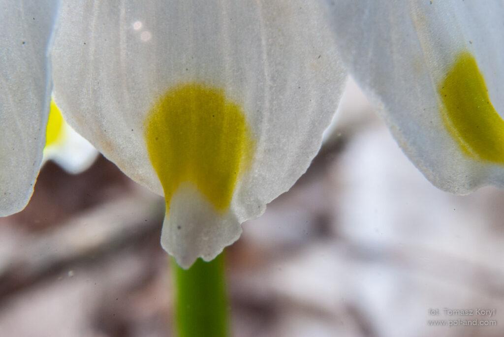 Śnieżycowy Jar - Śnieżyca wiosenna - Leucoium vernum / fot. Tomasz Koryl